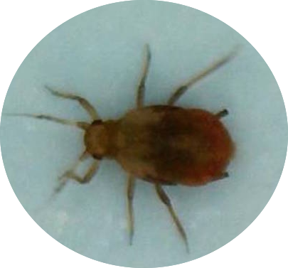 aphid-from-rooting-system-oval.png