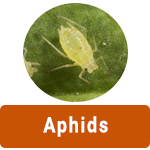 learn-more-about-aphids2.png