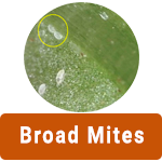 learn-more-about-broad-mites.png