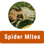 learn-more-about-spider-mites.png
