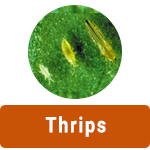 learn-more-about-thrips.png
